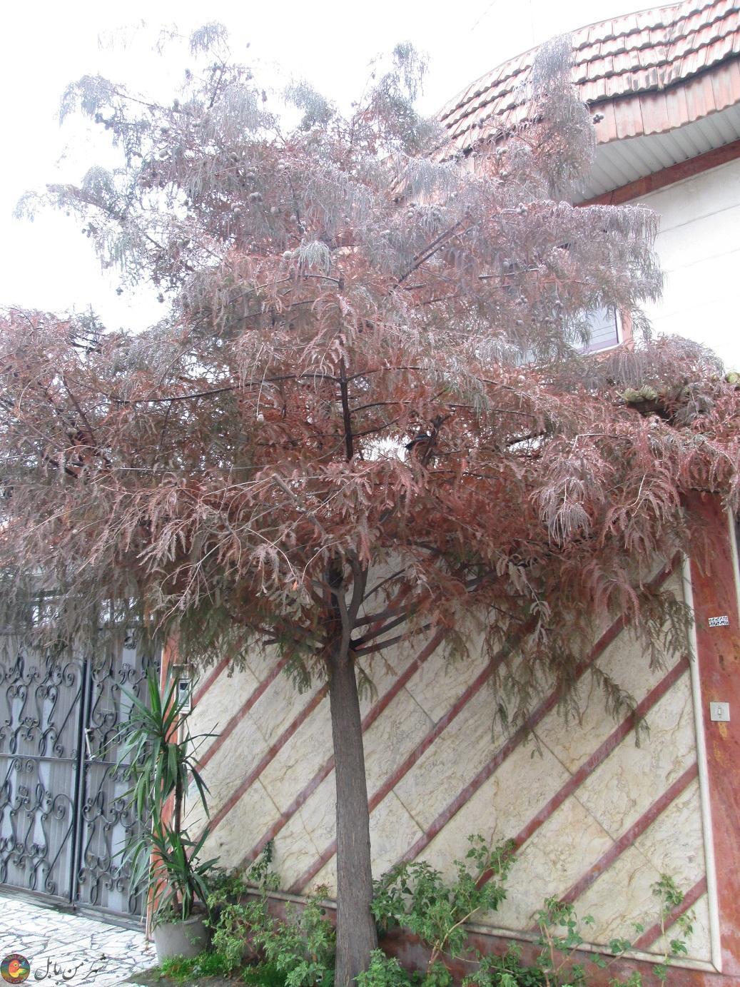 درختی زیبا در یکی از کوچه های شهر بابل